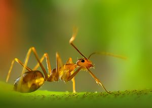 زيت بيض النمل
