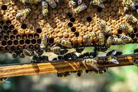 فوائد عكبر النحل