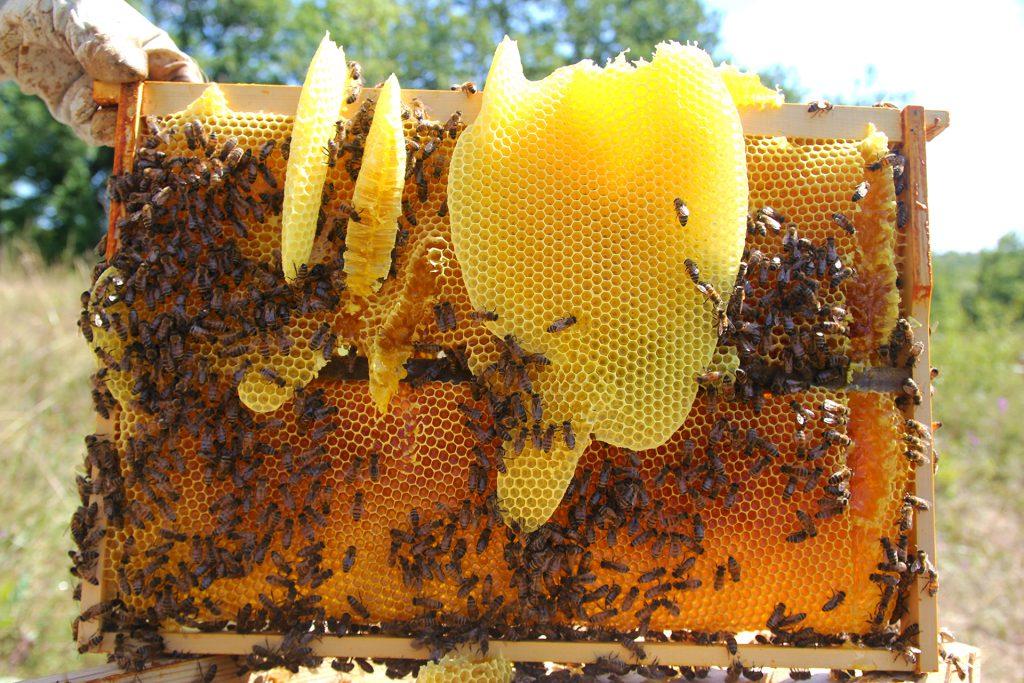 15 نقاط عن فوائد عكبر النحل العجيبة و أضراره